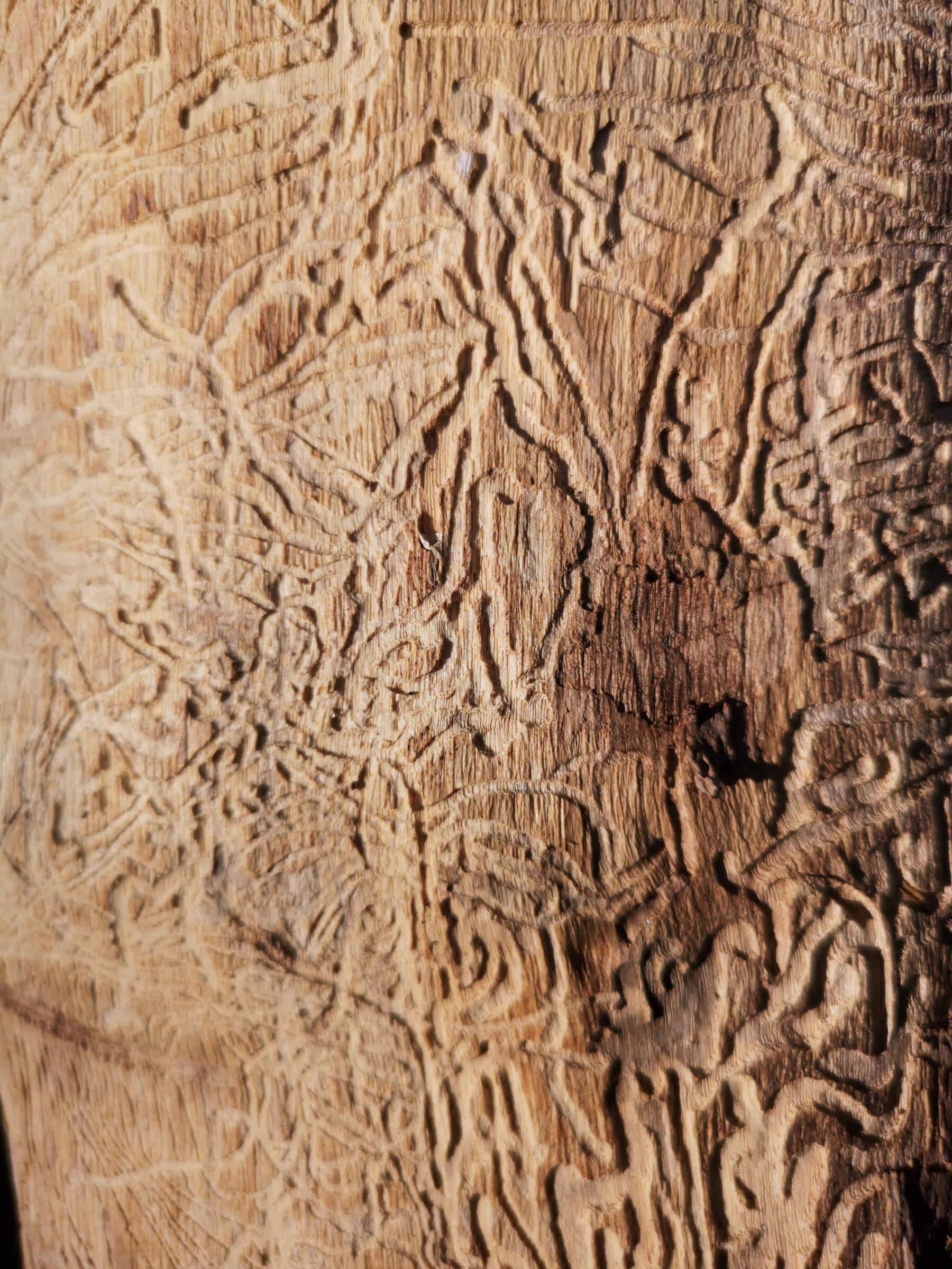 Les scolytes : ces petites bêtes qui détruisent nos forêts
